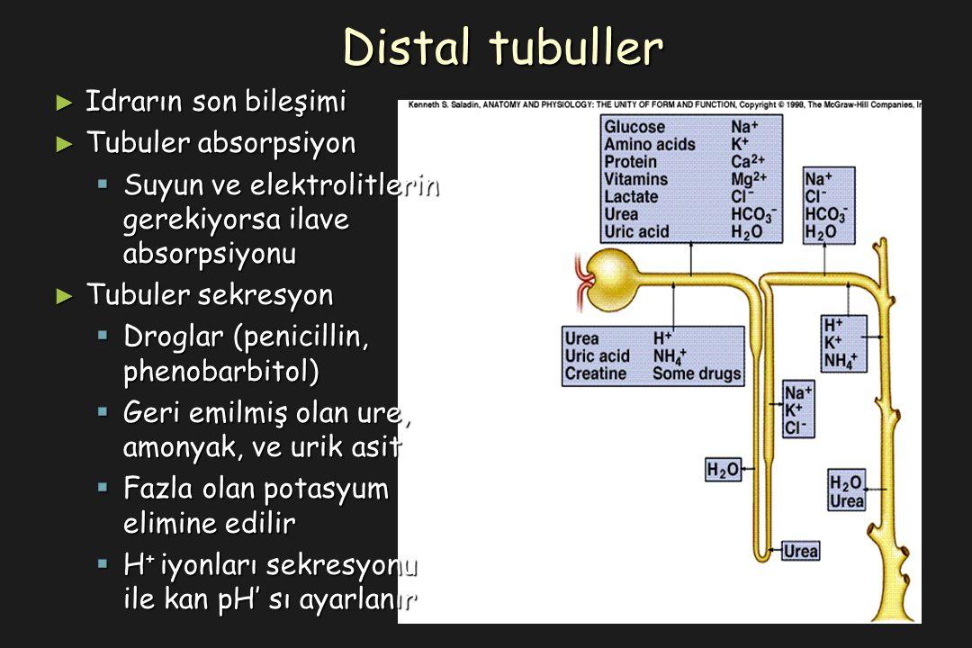 ► Idrarın son bileşimi ► Tubuler absorpsiyon  Suyun ve elektrolitlerin gerekiyorsa ilave absorpsiyonu ► Tubuler sekresyon  Droglar (penicillin, phenobarbitol)  Geri emilmiş olan ure, amonyak, ve urik asit  Fazla olan potasyum elimine edilir  H + iyonları sekresyonu ile kan pH' sı ayarlanır Distal tubuller