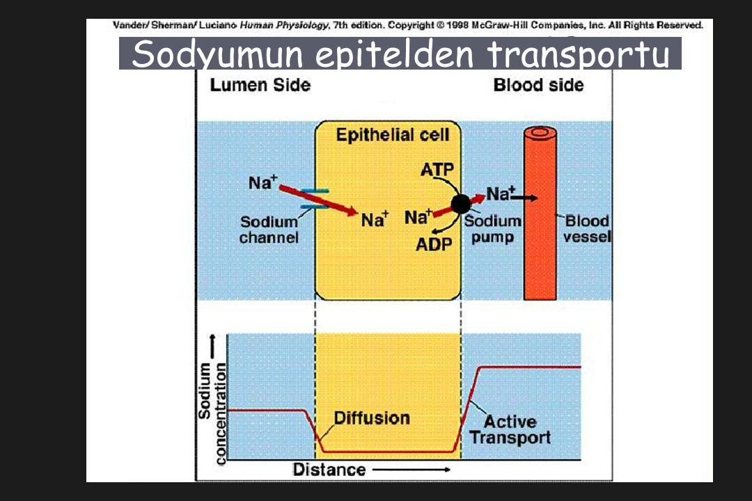 Sodyumun epitelden transportu