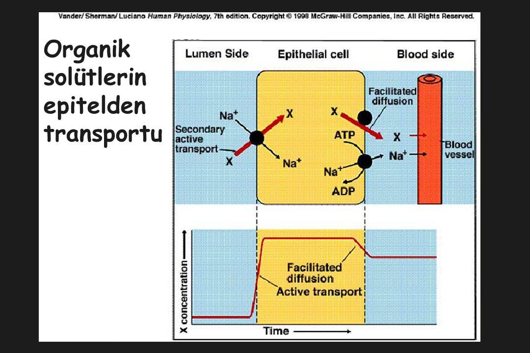 Organik solütlerin epitelden transportu