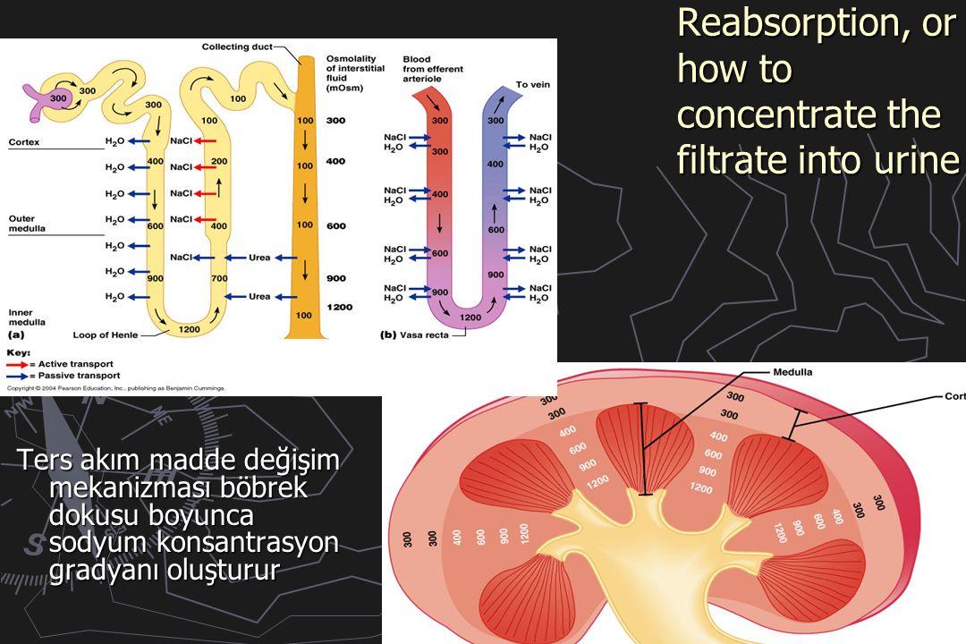 Reabsorption, or how to concentrate the filtrate into urine Ters akım madde değişim mekanizması böbrek dokusu boyunca sodyum konsantrasyon gradyanı oluşturur