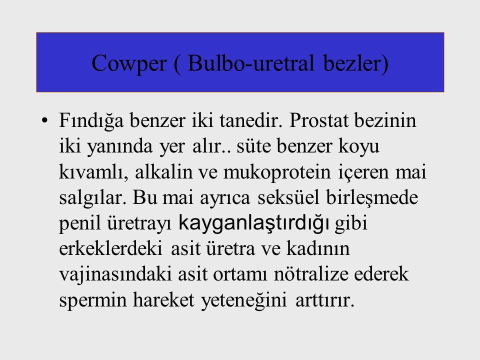 Cowper ( Bulbo-uretral bezler) Fındığa benzer iki tanedir.