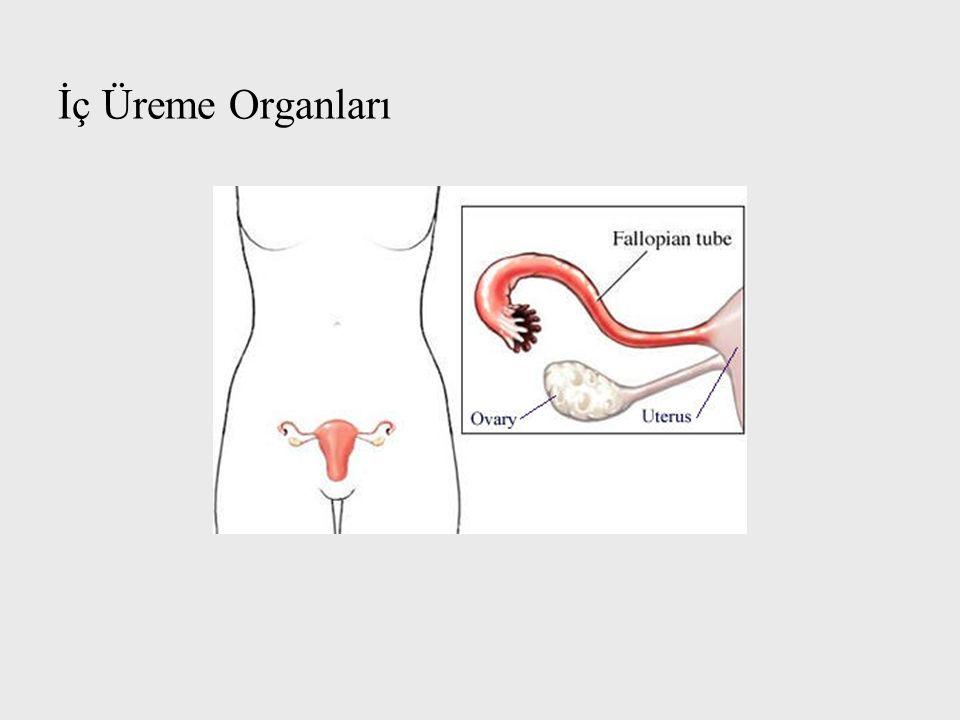 İç Üreme Organları