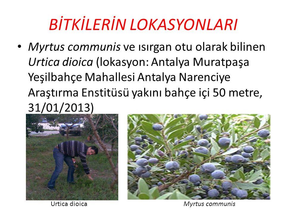 BİTKİLERİN LOKASYONLARI Myrtus communis ve ısırgan otu olarak bilinen Urtica dioica (lokasyon: Antalya Muratpaşa Yeşilbahçe Mahallesi Antalya Narenciy