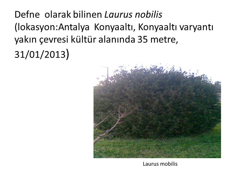 Defne olarak bilinen Laurus nobilis (lokasyon:Antalya Konyaaltı, Konyaaltı varyantı yakın çevresi kültür alanında 35 metre, 31/01/2013 )