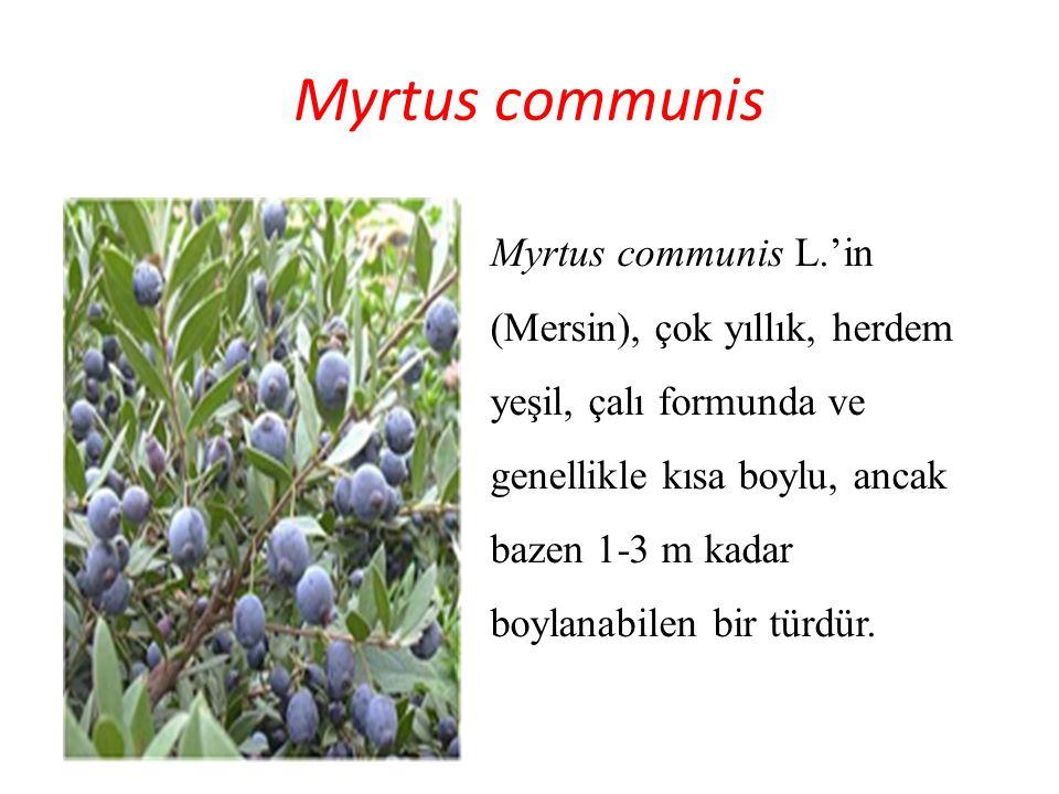 Myrtus communis Myrtus communis L.'in (Mersin), çok yıllık, herdem yeşil, çalı formunda ve genellikle kısa boylu, ancak bazen 1-3 m kadar boylanabilen
