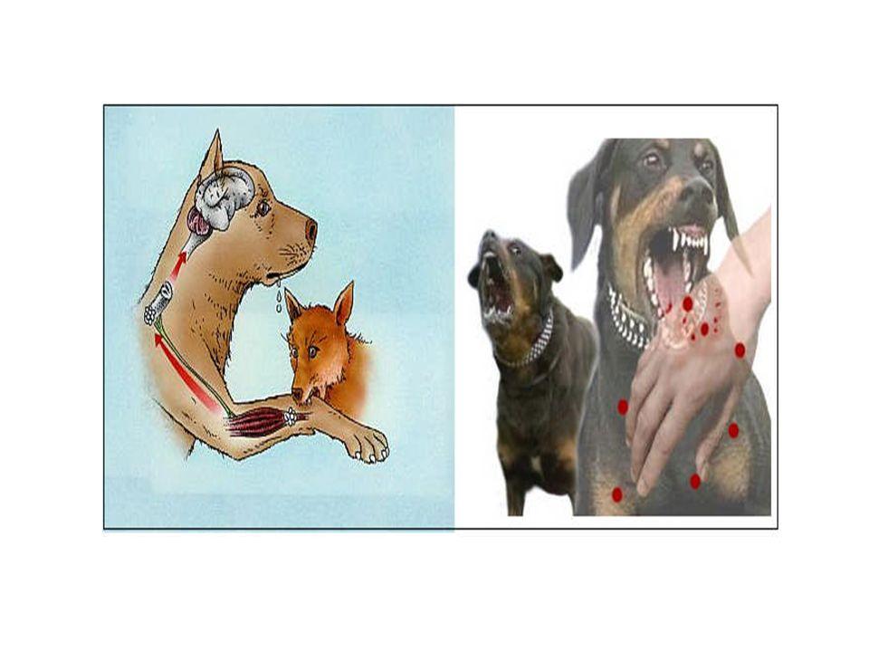 Hayvan ısırıklarında ilk yardım Yaralının ABC'si değerlendirilir.