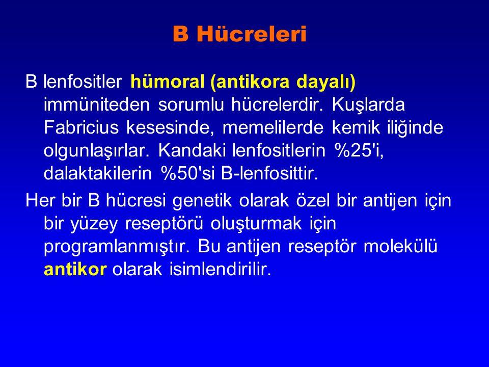 B Hücreleri B lenfositler hümoral (antikora dayalı) immüniteden sorumlu hücrelerdir. Kuşlarda Fabricius kesesinde, memelilerde kemik iliğinde olgunlaş