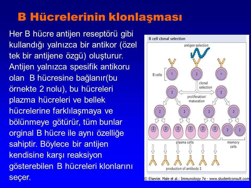 B Hücrelerinin klonlaşması Her B hücre antijen reseptörü gibi kullandığı yalnızca bir antikor (özel tek bir antijene özgü) oluşturur. Antijen yalnızca