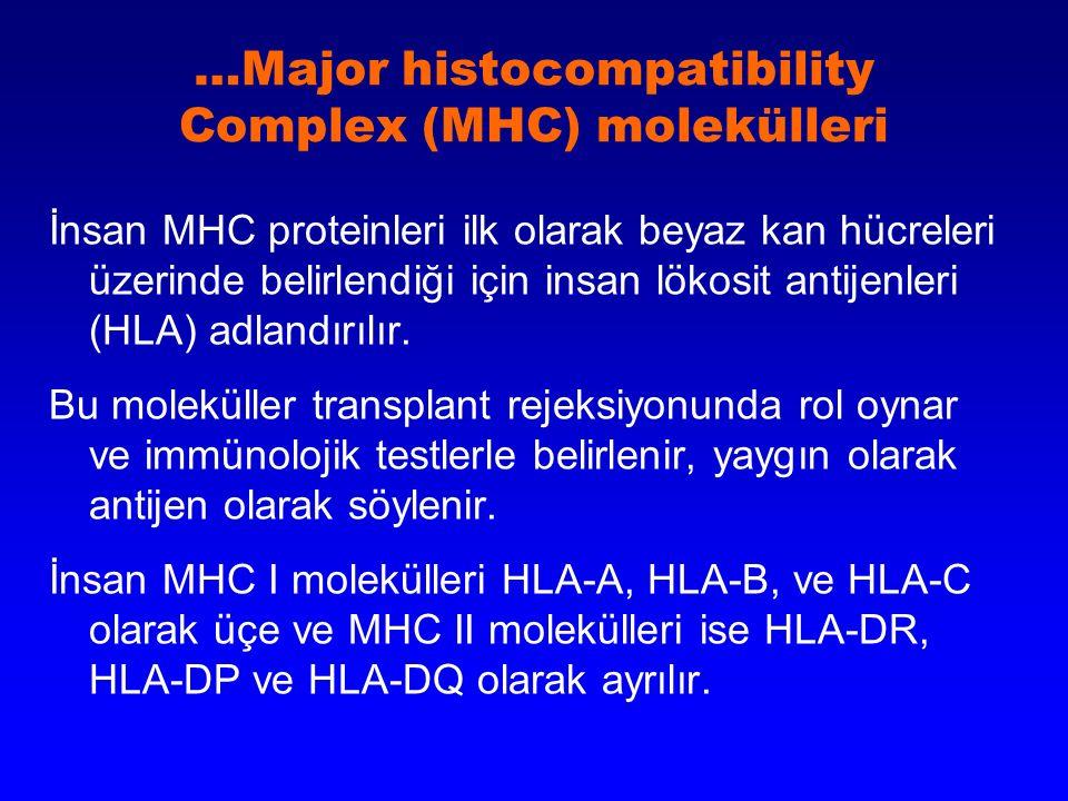 …Major histocompatibility Complex (MHC) molekülleri İnsan MHC proteinleri ilk olarak beyaz kan hücreleri üzerinde belirlendiği için insan lökosit anti