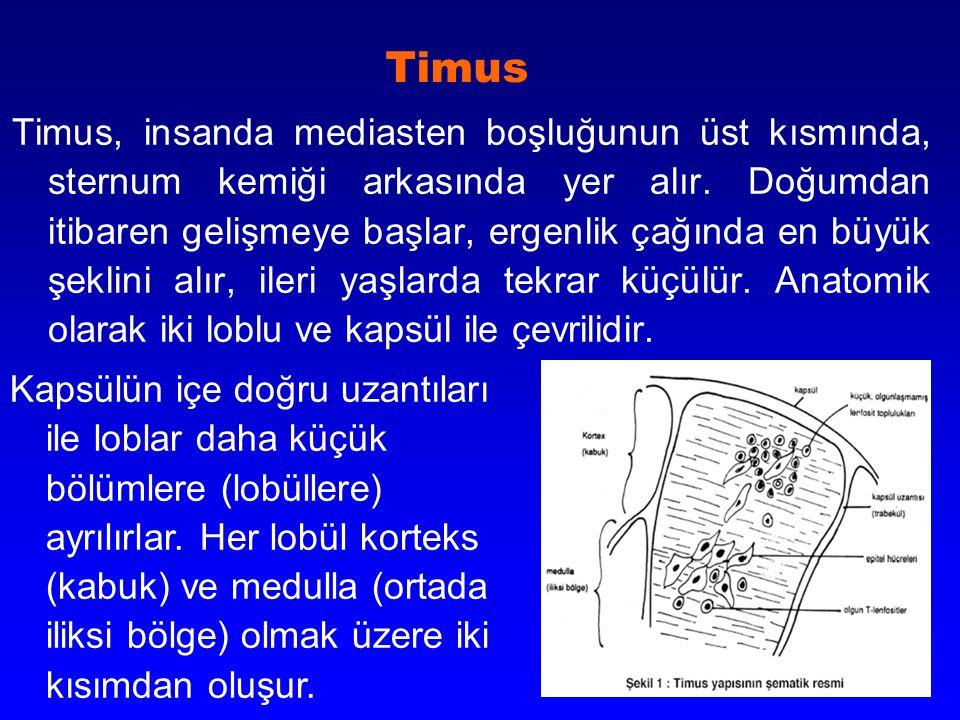 Timus Timus, insanda mediasten boşluğunun üst kısmında, sternum kemiği arkasında yer alır. Doğumdan itibaren gelişmeye başlar, ergenlik çağında en büy