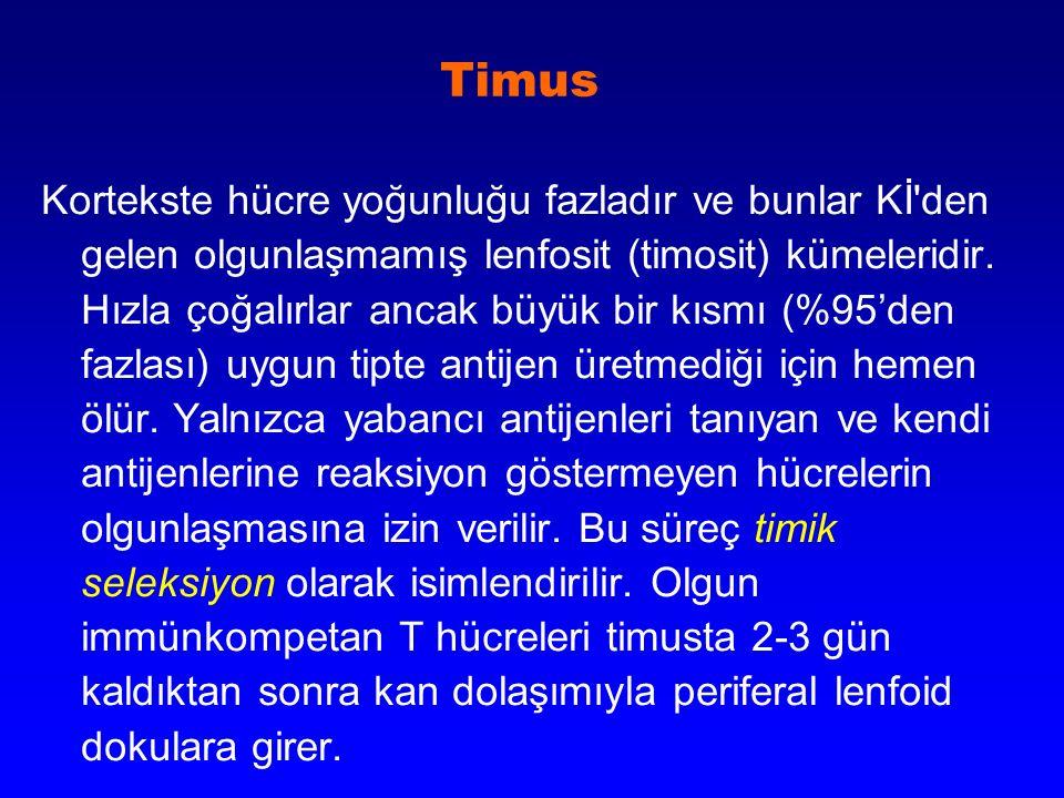 Timus Kortekste hücre yoğunluğu fazladır ve bunlar Kİ'den gelen olgunlaşmamış lenfosit (timosit) kümeleridir. Hızla çoğalırlar ancak büyük bir kısmı (