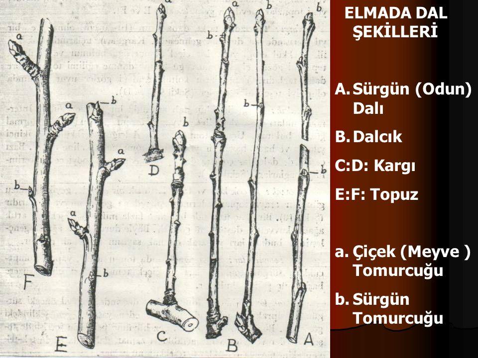 ELMADA DAL ŞEKİLLERİ A.Sürgün (Odun) Dalı B.Dalcık C:D: Kargı E:F: Topuz a.Çiçek (Meyve ) Tomurcuğu b.Sürgün Tomurcuğu