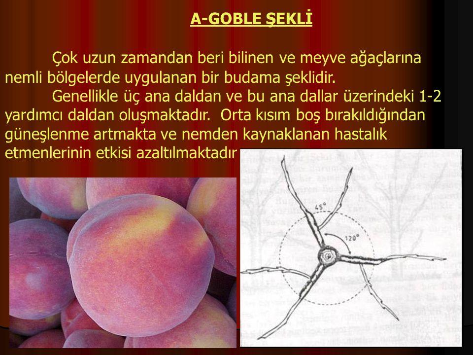 Çok uzun zamandan beri bilinen ve meyve ağaçlarına nemli bölgelerde uygulanan bir budama şeklidir. Genellikle üç ana daldan ve bu ana dallar üzerindek