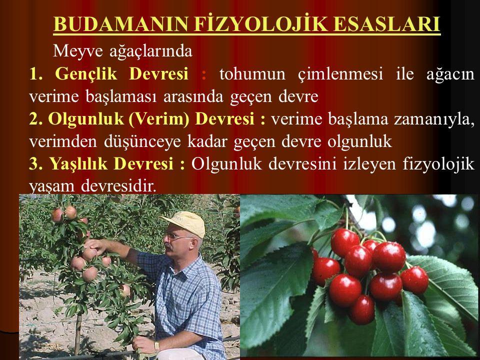 BUDAMANIN FİZYOLOJİK ESASLARI Meyve ağaçlarında 1. Gençlik Devresi : tohumun çimlenmesi ile ağacın verime başlaması arasında geçen devre 2. Olgunluk (