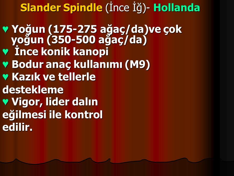 Slander Spindle (İnce İğ)- Hollanda Slander Spindle (İnce İğ)- Hollanda ♥ Yoğun (175-275 ağaç/da)ve çok yoğun (350-500 ağaç/da) ♥ İnce konik kanopi ♥