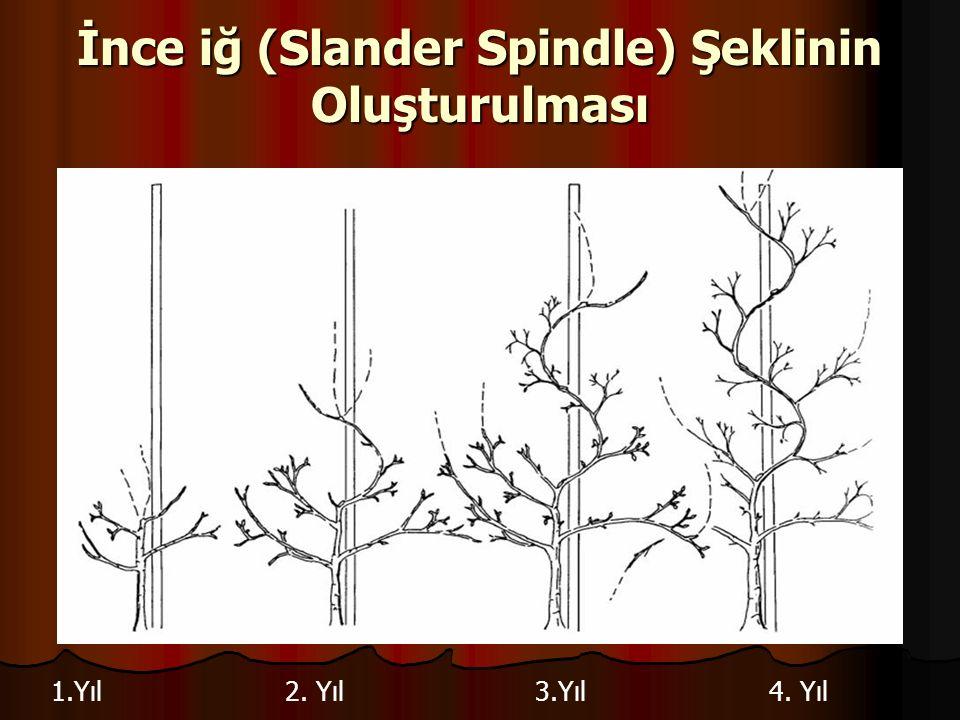 İnce iğ (Slander Spindle) Şeklinin Oluşturulması 1.Yıl2. Yıl3.Yıl4. Yıl