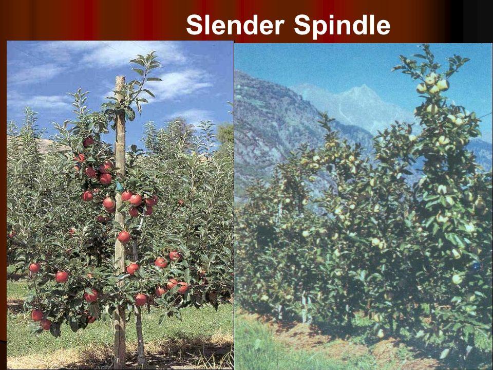 Slender Spindle