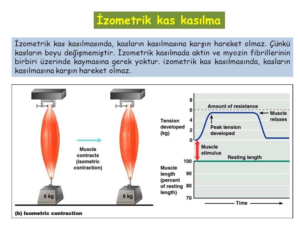 İzometrik kas kasılmasında, kasların kasılmasına karşın hareket olmaz. Çünkü kasların boyu değişmemiştir. İzometrik kasılmada aktin ve myozin fibrille