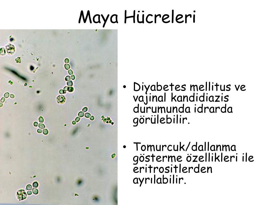 Maya Hücreleri Diyabetes mellitus ve vajinal kandidiazis durumunda idrarda görülebilir. Tomurcuk/dallanma gösterme özellikleri ile eritrositlerden ayr