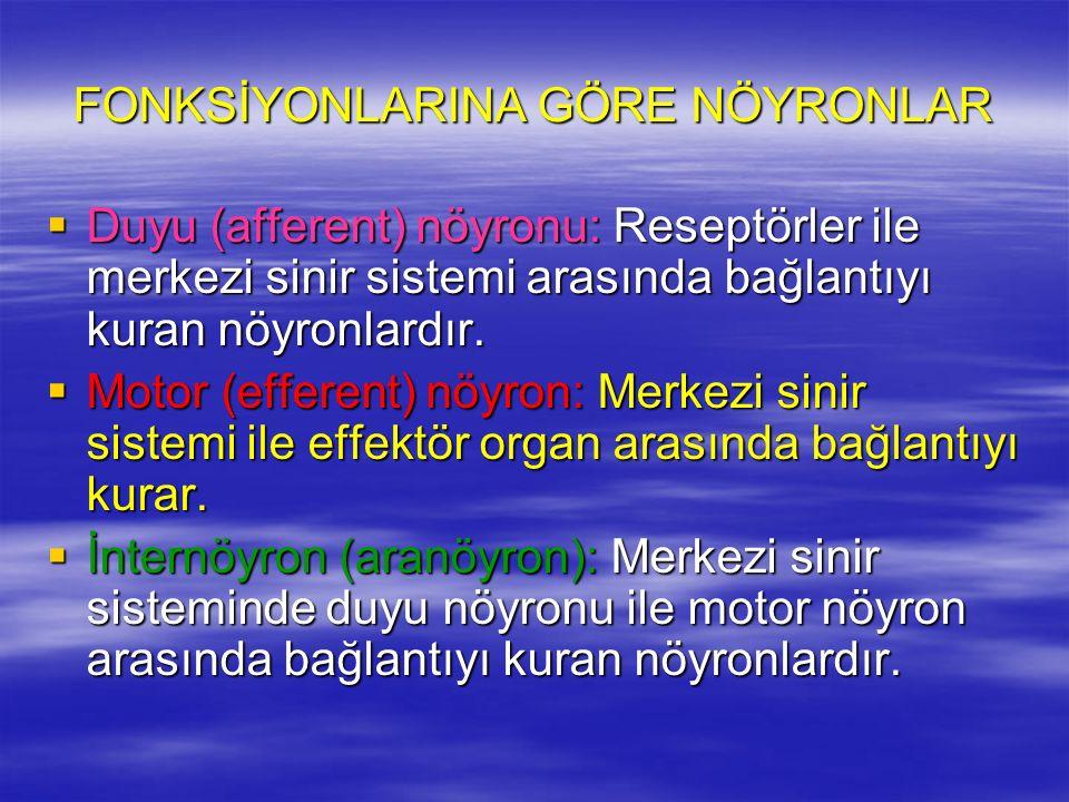 FONKSİYONLARINA GÖRE NÖYRONLAR  Duyu (afferent) nöyronu: Reseptörler ile merkezi sinir sistemi arasında bağlantıyı kuran nöyronlardır.