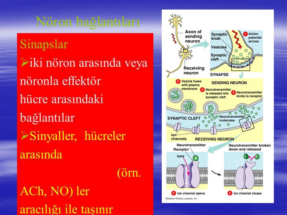 Nöron bağlantıları Sinapslar  iki nöron arasında veya nöronla effektör hücre arasındaki bağlantılar  Sinyaller, hücreler arasında neurotransmitter (örn.