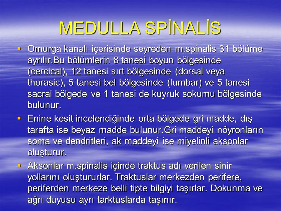 MEDULLA SPİNALİS  Omurga kanalı içerisinde seyreden m.spinalis 31 bölüme ayrılır.Bu bölümlerin 8 tanesi boyun bölgesinde (cercical), 12 tanesi sırt bölgesinde (dorsal veya thorasic), 5 tanesi bel bölgesinde (lumbar) ve 5 tanesi sacral bölgede ve 1 tanesi de kuyruk sokumu bölgesinde bulunur.