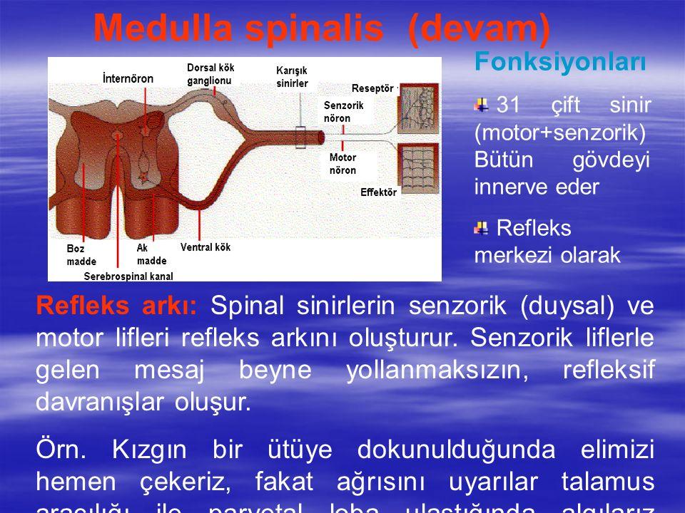 Medulla spinalis (devam) Fonksiyonları 31 çift sinir (motor+senzorik) Bütün gövdeyi innerve eder Refleks merkezi olarak Refleks arkı: Spinal sinirlerin senzorik (duysal) ve motor lifleri refleks arkını oluşturur.
