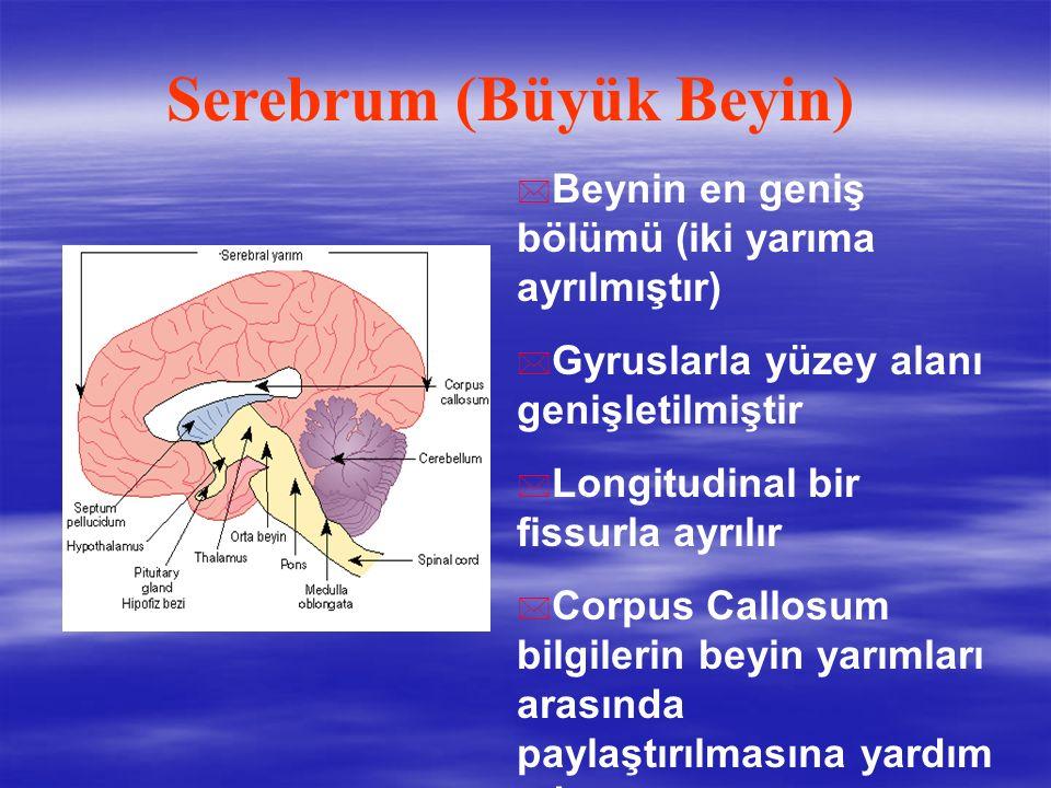 * Beynin en geniş bölümü (iki yarıma ayrılmıştır) * Gyruslarla yüzey alanı genişletilmiştir * Longitudinal bir fissurla ayrılır * Corpus Callosum bilgilerin beyin yarımları arasında paylaştırılmasına yardım eder Serebrum (Büyük Beyin)
