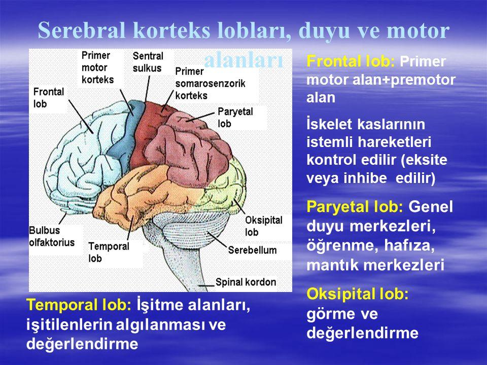 Serebral korteks lobları, duyu ve motor alanları Frontal lob: Primer motor alan+premotor alan İskelet kaslarının istemli hareketleri kontrol edilir (eksite veya inhibe edilir) Paryetal lob: Genel duyu merkezleri, öğrenme, hafıza, mantık merkezleri Oksipital lob: görme ve değerlendirme Temporal lob: İşitme alanları, işitilenlerin algılanması ve değerlendirme