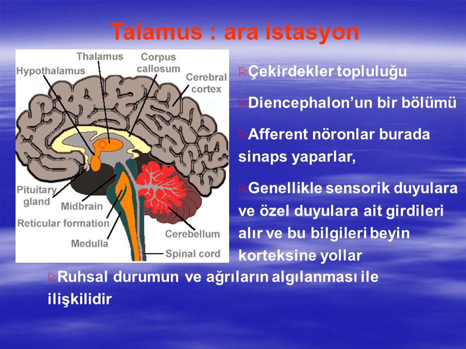 Talamus : ara istasyon O Çekirdekler topluluğu O Diencephalon'un bir bölümü O Afferent nöronlar burada sinaps yaparlar, O Genellikle sensorik duyulara ve özel duyulara ait girdileri alır ve bu bilgileri beyin korteksine yollar O Ruhsal durumun ve ağrıların algılanması ile ilişkilidir