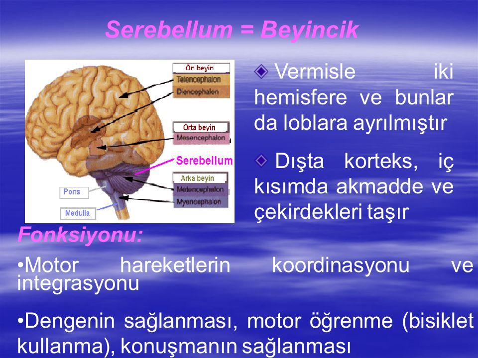 Serebellum = Beyincik Vermisle iki hemisfere ve bunlar da loblara ayrılmıştır Dışta korteks, iç kısımda akmadde ve çekirdekleri taşır Fonksiyonu: Motor hareketlerin koordinasyonu ve integrasyonu Dengenin sağlanması, motor öğrenme (bisiklet kullanma), konuşmanın sağlanması