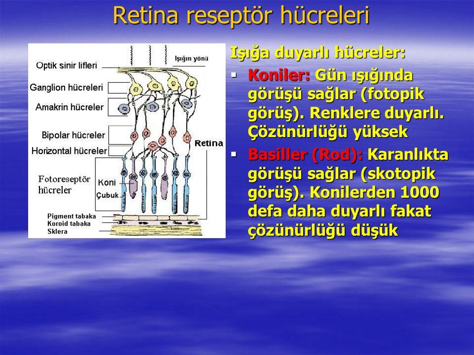 Retina reseptör hücreleri Işığa duyarlı hücreler:  Koniler: Gün ışığında görüşü sağlar (fotopik görüş).