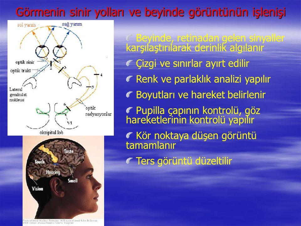 Beyinde, retinadan gelen sinyaller karşılaştırılarak derinlik algılanır Çizgi ve sınırlar ayırt edilir Renk ve parlaklık analizi yapılır Boyutları ve hareket belirlenir Pupilla çapının kontrolü, göz hareketlerinin kontrolü yapılır Kör noktaya düşen görüntü tamamlanır Ters görüntü düzeltilir Görmenin sinir yolları ve beyinde görüntünün işlenişi