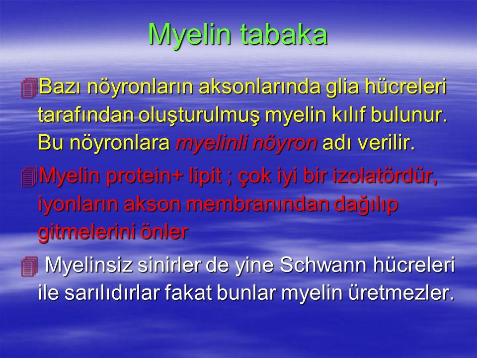 Myelin tabaka 4Bazı nöyronların aksonlarında glia hücreleri tarafından oluşturulmuş myelin kılıf bulunur.