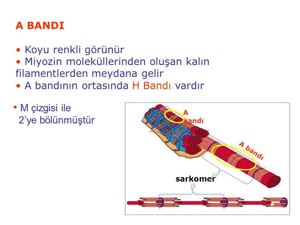 12 A BANDI Koyu renkli görünür Miyozin moleküllerinden oluşan kalın filamentlerden meydana gelir A bandının ortasında H Bandı vardır A bandı sarkomer