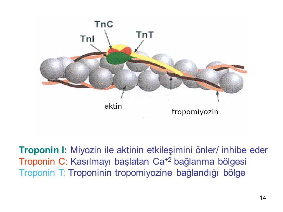 14 aktin tropomiyozin Troponin I: Miyozin ile aktinin etkileşimini önler/ inhibe eder Troponin C: Kasılmayı başlatan Ca +2 bağlanma bölgesi Troponin T