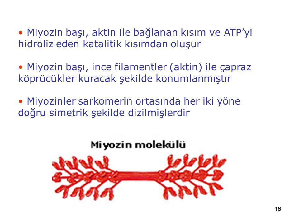 16 Miyozin başı, aktin ile bağlanan kısım ve ATP'yi hidroliz eden katalitik kısımdan oluşur Miyozin başı, ince filamentler (aktin) ile çapraz köprücük
