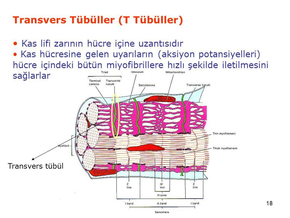 18 Transvers Tübüller (T Tübüller) Kas lifi zarının hücre içine uzantısıdır Kas hücresine gelen uyarıların (aksiyon potansiyelleri) hücre içindeki büt