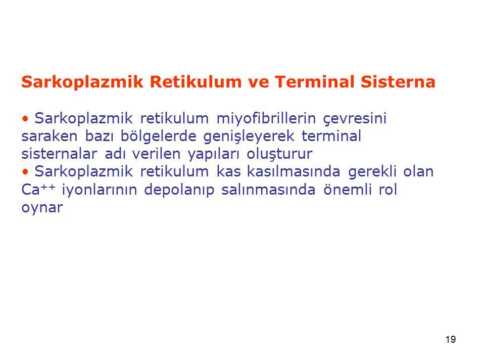 19 Sarkoplazmik Retikulum ve Terminal Sisterna Sarkoplazmik retikulum miyofibrillerin çevresini saraken bazı bölgelerde genişleyerek terminal sisterna