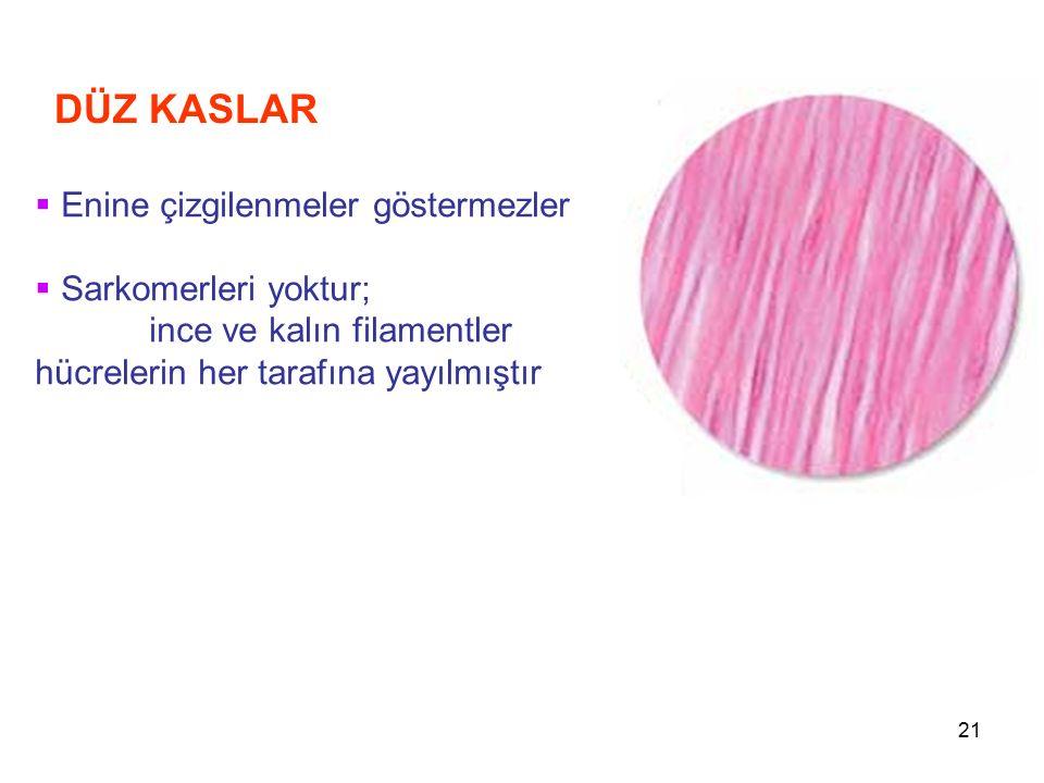 21 DÜZ KASLAR  Enine çizgilenmeler göstermezler  Sarkomerleri yoktur; ince ve kalın filamentler hücrelerin her tarafına yayılmıştır