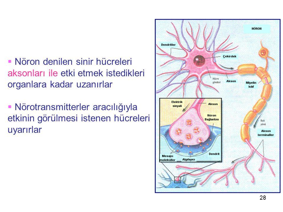 28  Nöron denilen sinir hücreleri aksonları ile etki etmek istedikleri organlara kadar uzanırlar  Nörotransmitterler aracılığıyla etkinin görülmesi