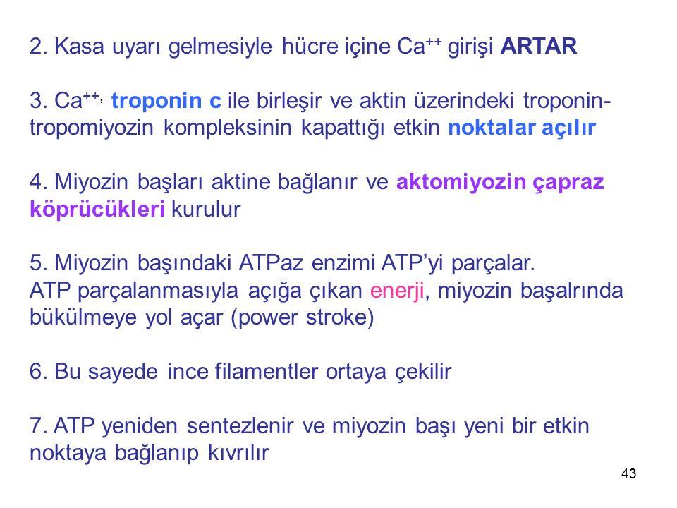 43 2. Kasa uyarı gelmesiyle hücre içine Ca ++ girişi ARTAR 3. Ca ++, troponin c ile birleşir ve aktin üzerindeki troponin- tropomiyozin kompleksinin k