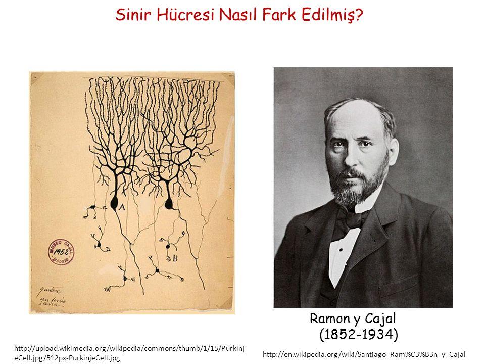Ramon y Cajal'ın Sinir Hücresi için belirtiği ilkeler Sinir Hücresi Doktrini Sinir hücreleri, sinir sisteminin işret üreten temel birimleridir.