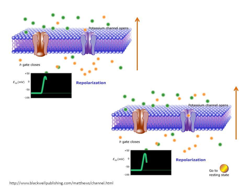Başka Sinir Hücresi Modelleri Var mı.
