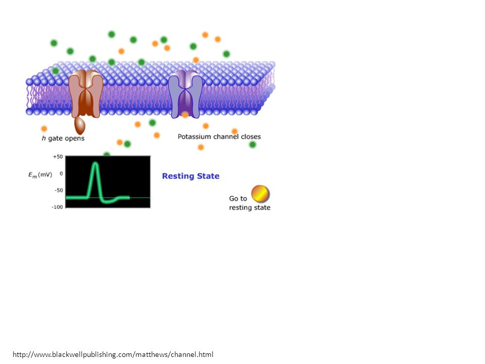 Bu davranışları yansıtan bir model: Hodgkin-Huxley Sinir Hücresi Modeli Potasyuma ilişkin harekete geçirme kapısı Sodyuma ilişkin harekete geçirme kapısı Sodyuma ilişkin harekete geçirmeme kapısı http://www.blackwellpublishing.com/matthews/channel.html
