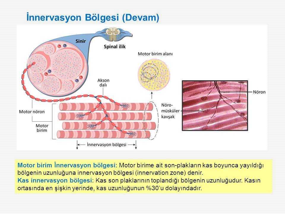 Motor birim İnnervasyon bölgesi: Motor birime ait son-plakların kas boyunca yayıldığı bölgenin uzunluğuna innervasyon bölgesi (innervation zone) denir.