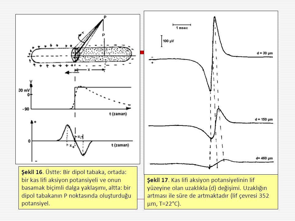 Şekil 17. Kas lifi aksiyon potansiyelinin lif yüzeyine olan uzaklıkla (d) değişimi.