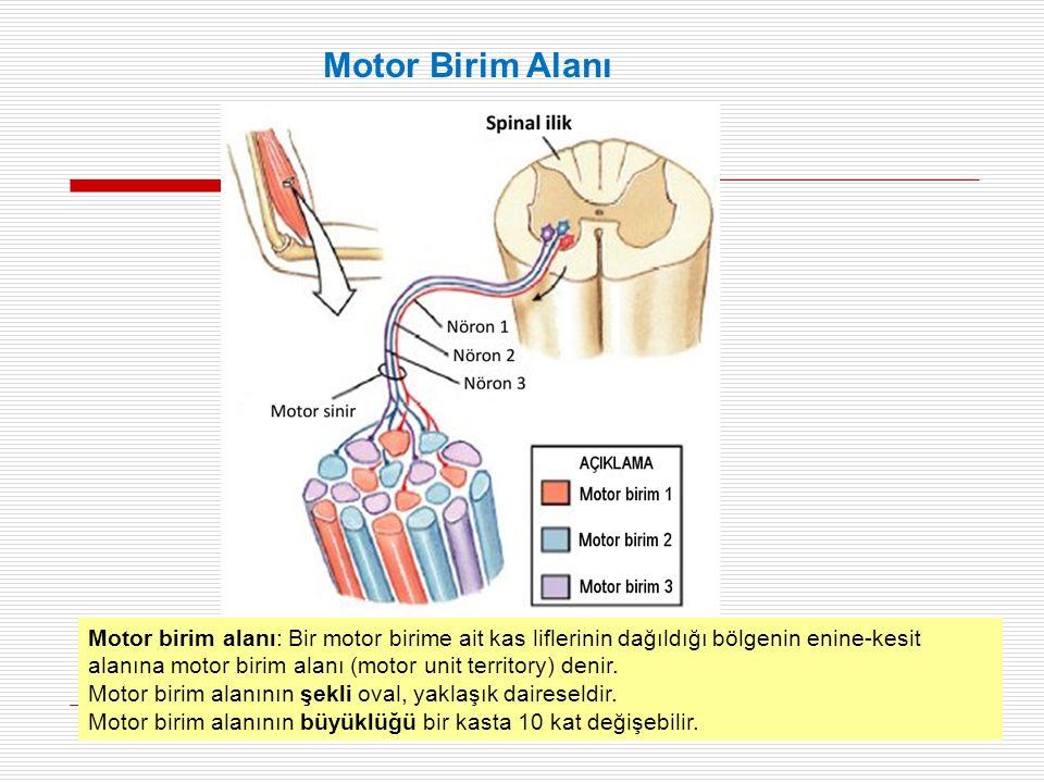 Motor birim alanı: Bir motor birime ait kas liflerinin dağıldığı bölgenin enine-kesit alanına motor birim alanı (motor unit territory) denir.