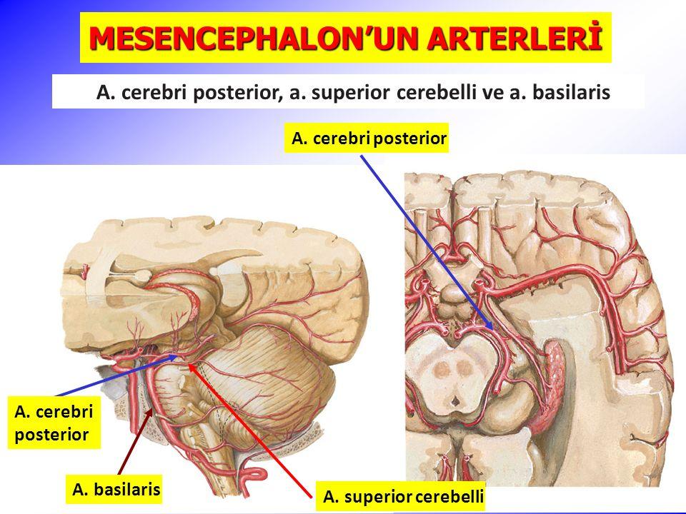 MESENCEPHALON'UN ARTERLERİ A.cerebri posterior A.
