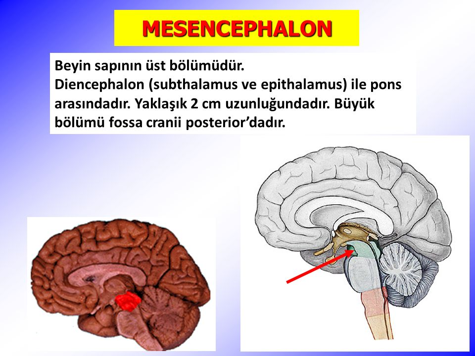 MESENCEPHALON Pedunculus cerebellaris superior'lar (brachium conjunctivum) ile cerebellum'a bağlanır.